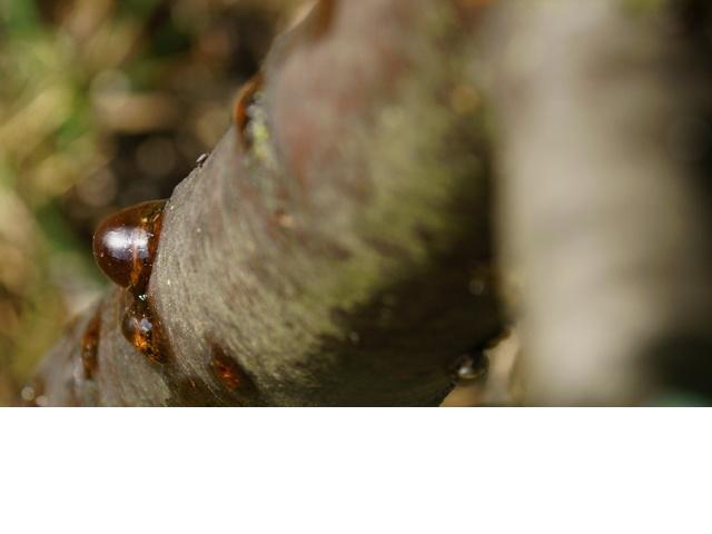 arbre propolis